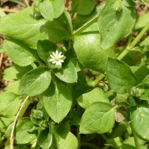 Photographie n°340818 du taxon Stellaria media (L.) Vill. [1789]
