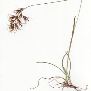 - Helictochloa versicolor subsp. versicolor