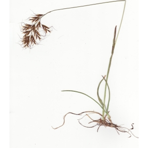 Helictochloa versicolor (Vill.) Romero Zarco subsp. versicolor (Avoine bigarrée)