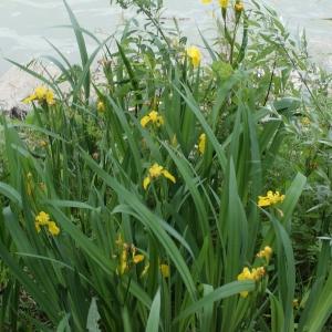 Photographie n°340852 du taxon Iris pseudacorus L. [1753]