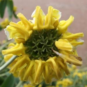 Phlomis fruticosa L. (Phlomis ligneux)