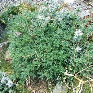 Photographie n°342531 du taxon Astragalus sempervirens subsp. sempervirens