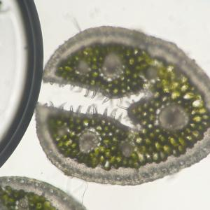 Photographie n°342661 du taxon Festuca filiformis Pourr. [1788]