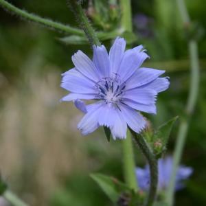 Cichorium endivia L. (Endive)
