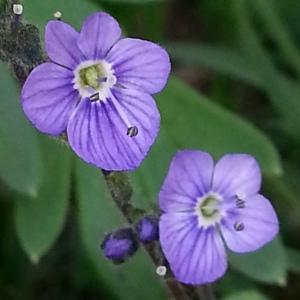 - Veronica aphylla L.