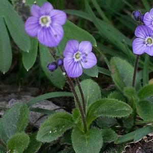 Photographie n°342723 du taxon Veronica aphylla L. [1753]