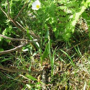 Photographie n°342822 du taxon Ranunculus angustifolius DC. [1808]
