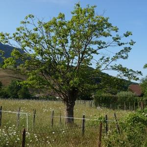 Photographie n°342827 du taxon Mûrier blanc