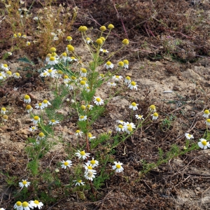 Photographie n°342987 du taxon Tripleurospermum inodorum (L.) Sch.Bip. [1844]