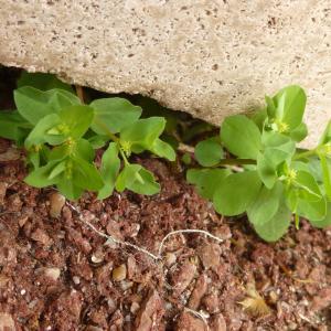 Photographie n°343032 du taxon Euphorbia peplus L. [1753]