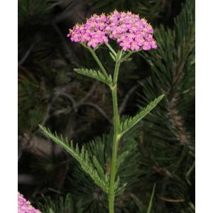 Achillea distans subsp. tanacetifolia (All.) Janch. (Achillée à feuilles de tanaisie)