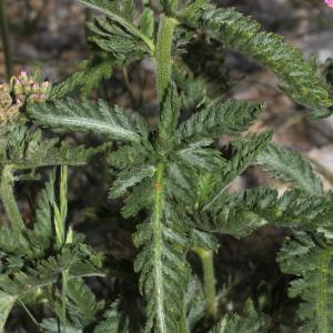 Photographie n°343248 du taxon Achillea distans subsp. tanacetifolia Janch.