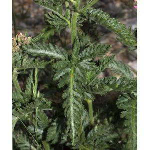 Achillea distans subsp. tanacetifolia (All.) Janch. [1942] (Achillée à feuilles de tanaisie)