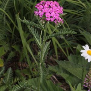 Photographie n°343249 du taxon Achillea distans subsp. tanacetifolia Janch.
