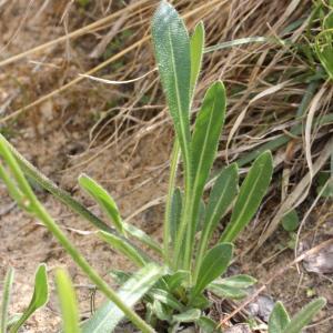 Photographie n°343255 du taxon Biscutella laevigata subsp. laevigata