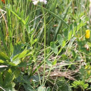 Photographie n°343263 du taxon Astragalus alpinus subsp. alpinus