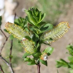 Photographie n°343283 du taxon Salix myrsinifolia Salisb. [1796]