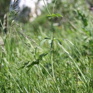Photographie n°343290 du taxon Ranunculus aconitifolius L. [1753]
