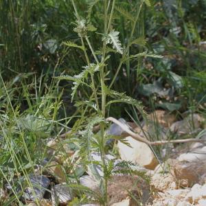 Photographie n°343304 du taxon Achillea distans subsp. tanacetifolia Janch.