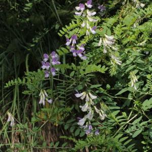 Photographie n°343351 du taxon Vicia sylvatica L.