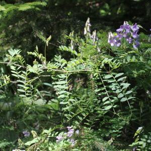 Photographie n°343352 du taxon Vicia sylvatica L.