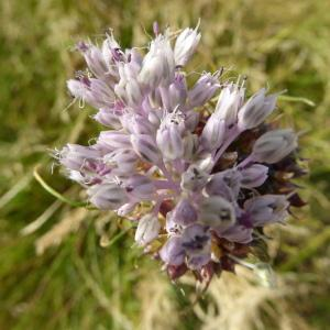 Photographie n°343399 du taxon Allium vineale L.