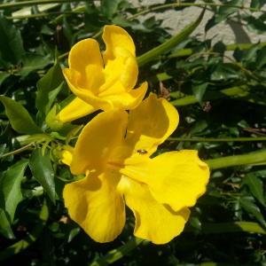 Photographie n°343431 du taxon Dolichandra unguis-cati (L.) L.G.Lohmann [2008]