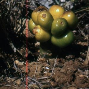 Photographie n°343567 du taxon Arum pictum L.f. [1782]