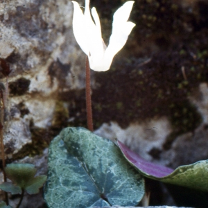 Photographie n°343575 du taxon Cyclamen balearicum Willk. [1875]