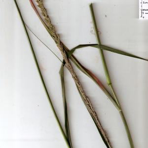Photographie n°343581 du taxon Sporobolus indicus (L.) R.Br.