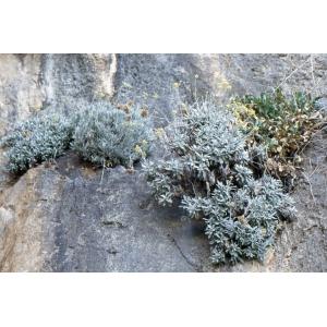 Helichrysum ambiguum (Pers.) C.Presl