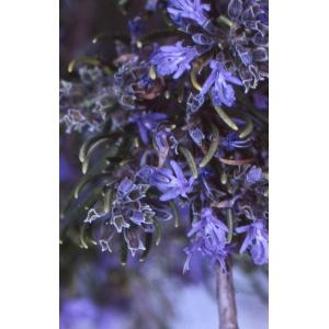 Rosmarinus officinalis subsp. palaui (O.Bolòs & Molin.) Malag. [1973]
