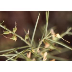 Genista tricuspidata subsp. spartiflora var. lucida (Cambess.) O.Bolòs & Molin.