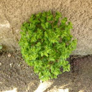 Photographie n°343745 du taxon Euphorbia peplus L. [1753]