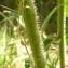 Jean-Pierre LESPINASSE - Picris hieracioides L.