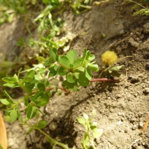 Photographie n°344003 du taxon Euphorbia peplus L. [1753]
