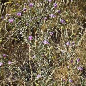 Photographie n°344090 du taxon Centaurea paniculata L. [1753]