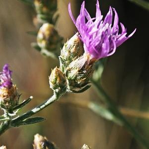 Photographie n°344091 du taxon Centaurea paniculata L. [1753]