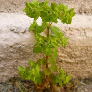 Photographie n°344099 du taxon Euphorbia peplus L. [1753]