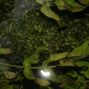 Photographie n°344133 du taxon Lemna trisulca L.