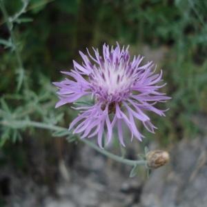 Photographie n°344393 du taxon Centaurea paniculata L. [1753]