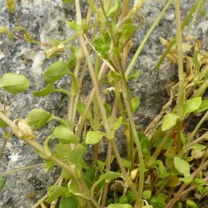 Photographie n°344540 du taxon Stellaria media (L.) Vill. [1789]