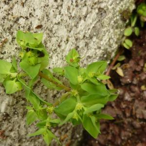 Photographie n°344575 du taxon Euphorbia peplus L. [1753]