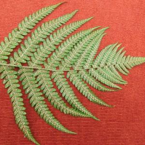 Photographie n°344909 du taxon Dryopteris filix-mas (L.) Schott [1834]