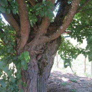Photographie n°344945 du taxon Mûrier blanc