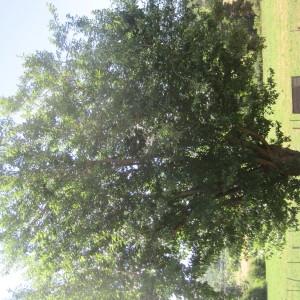 Photographie n°344946 du taxon Mûrier blanc