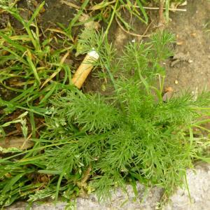 Photographie n°344969 du taxon Tripleurospermum inodorum (L.) Sch.Bip. [1844]