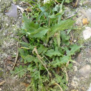 Photographie n°345018 du taxon Capsella bursa-pastoris (L.) Medik.