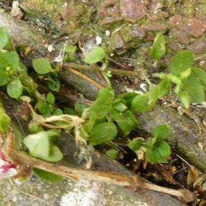 Photographie n°345021 du taxon Stellaria media (L.) Vill. [1789]