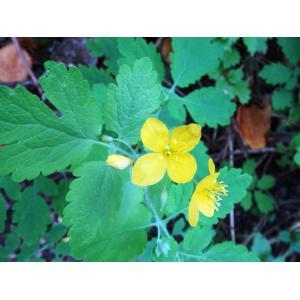 Chelidonium majus L. subsp. majus